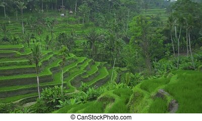Green terraced rice fields. Green paddy field in mountain asian village. Farming and agriculture concept. Rice terraces Bali, Indonesia