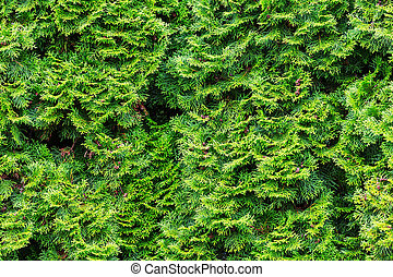 Green texture - Thuja occidentalis green background, natural...