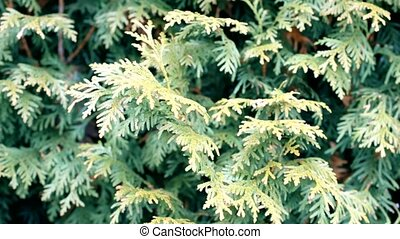 Green thuja branches stirred by breeze - Background of green...