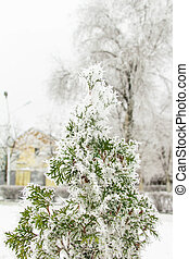 green thuja tree in the park with snow