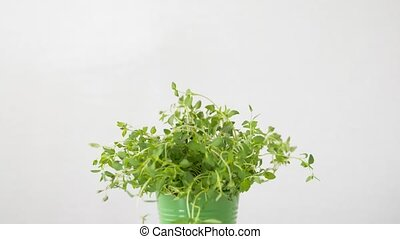 green thyme herb in pot on table - healthy eating, gardening...