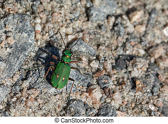Green Tiger Beetle - Cicindela campestris - on dirt road - ...