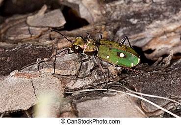 Green tiger beetle - Close up view of a green tiger beetle ...
