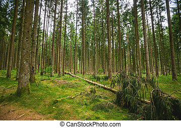 Green timber forest with tall pine trees