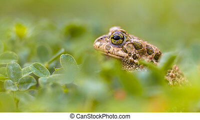 Green toad peeking from Grass - Spying Green toad (Bufotes...