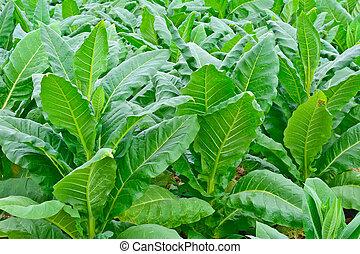 green tobacco field in thailand in summer - green tobacco...