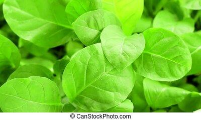 green tobacco leaf closeup cultivation of plants