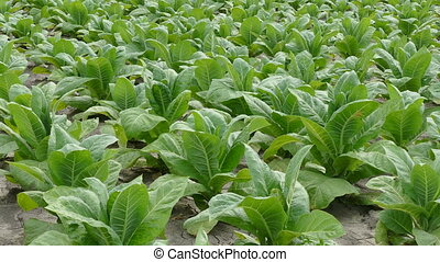 Green tobacco plants in field in late spring or early summer with breeze blowing 4K video