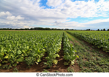 Green tobacco plants on a field in Germany