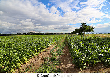 Green tobacco plants on a field in Rhineland-Palatinate
