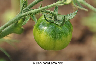 Green Tomat on bush