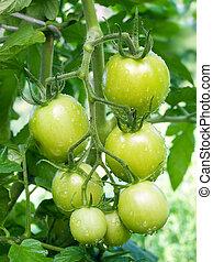 Green tomato.