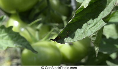Green tomato growing in a vegetable garden