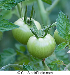 Green tomato on a branch.