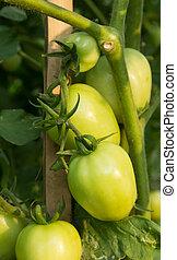 Green tomato on tree