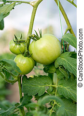 Green tomato plant in the garden