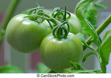 green tomato Vegetable