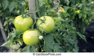 green tomatoes branch - organic tomatoes ripening on branch...