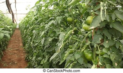 Green tomatoes grow in rows in a greenhouse closeup. High quality FullHD footage