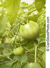 Green tomatoes growing on a branch in a greenhouse