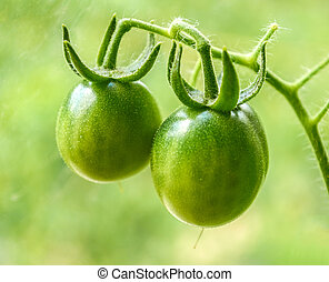 green tomatoes growing on the branches