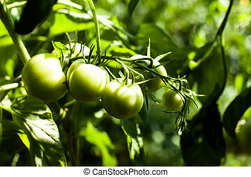Green Tomatoes in a garden