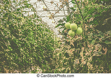 Green tomatoes in a greenhouse