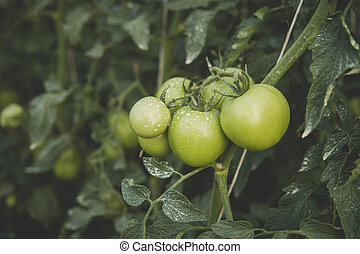 green tomatoes inside of a greenhouse