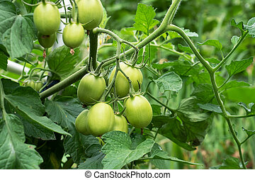 Green tomatoes on a branch grow in a greenhouse.