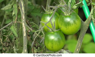 Green tomatoes on a branch of a bush.