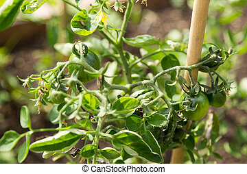 green tomatoes on branch close up