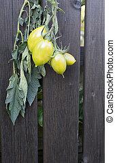 Green tomatoes on dark wood