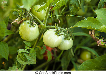 green tomatoes on the bush in the garden of