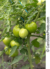 green tomatoes on the bush in the garden