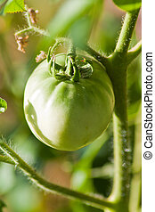 green tomatoes on the bush