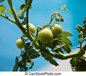Green tomatoes on vine