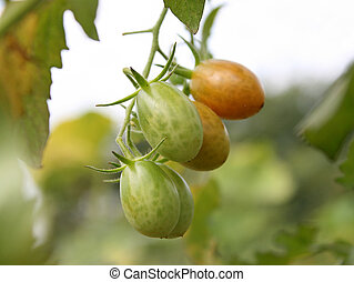 Green tomatoes. Shallow depth of field
