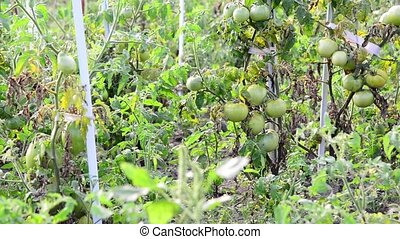 green tomatoes tied to stakes in garden