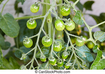 Green tomatos growing on a plant
