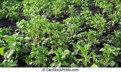 green tops of potatoes on the field