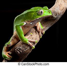 green tree frog amazon rain forest exotic tropical amphibian...
