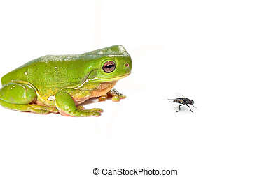 green tree frog and fly on white background