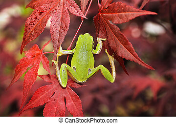 green tree frog climbing on japanese maple in a botanical...