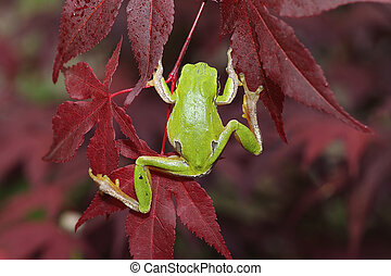 green tree frog climbing on leaves