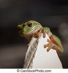 Green Tree Frog Clinging to a fence