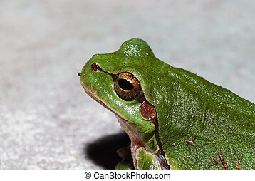 green tree frog close view