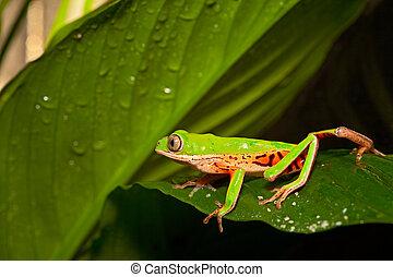 green tree frog crawling
