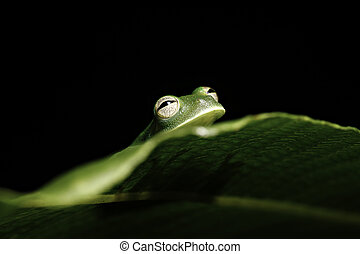 green tree frog hiding behind leaf in amazon rainforest -...