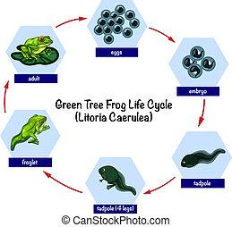 Green tree frog life cycle illustration