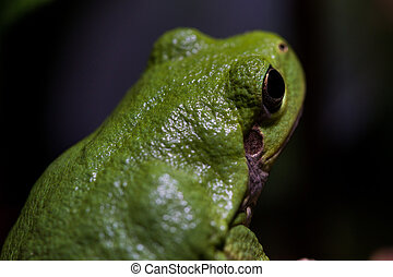 Green Tree Frog Looks Away from Camera